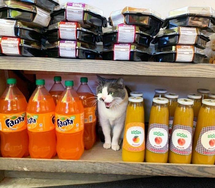 Магазинные коты, которые лежат на полках и витринах