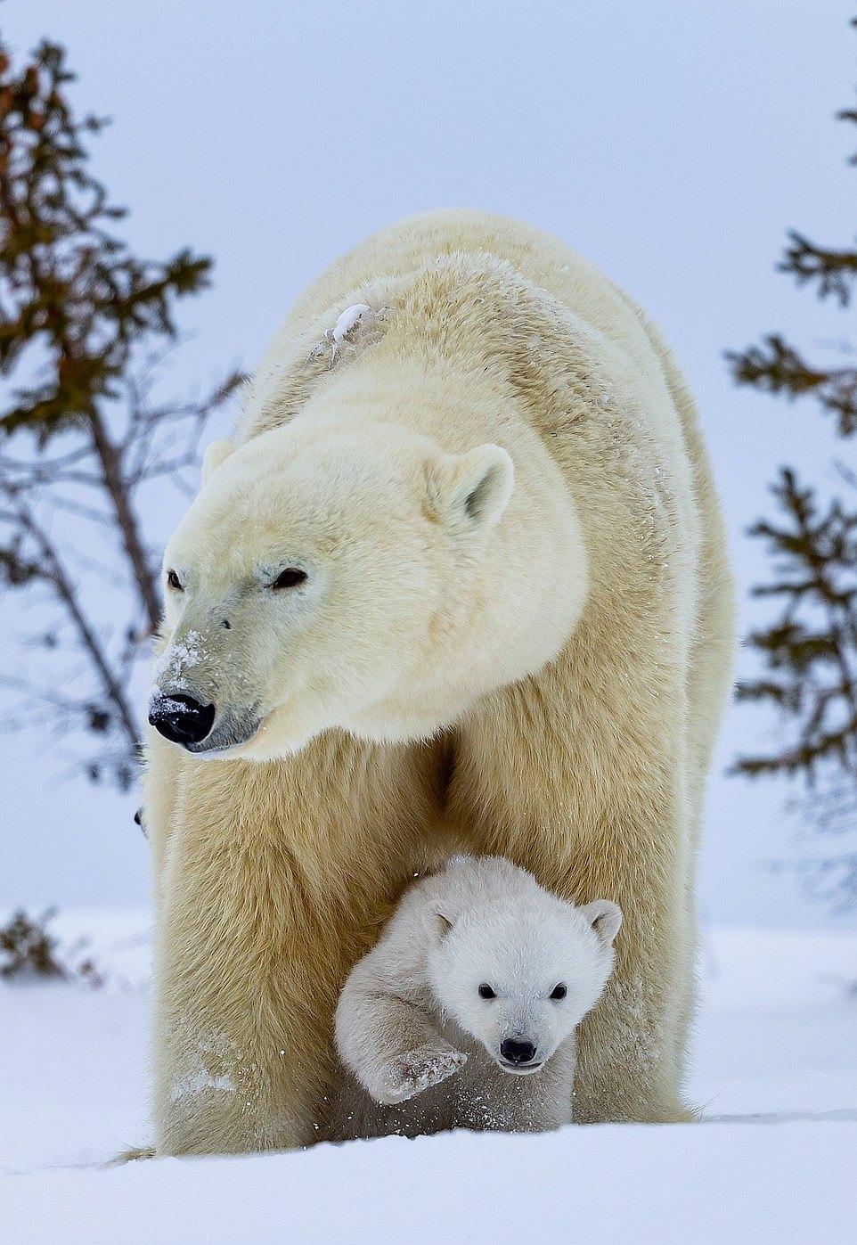Самка белого медведя с медвежатами на прогулке