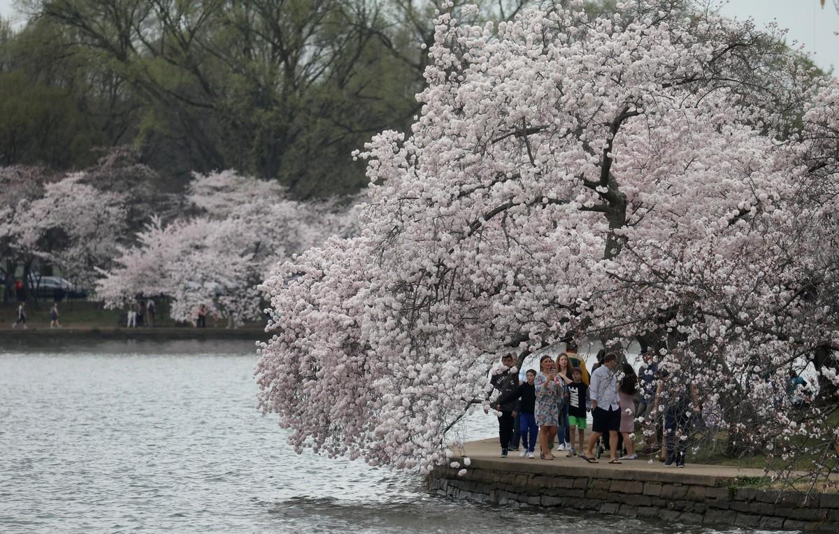 Весна пришла и сакура зацвела