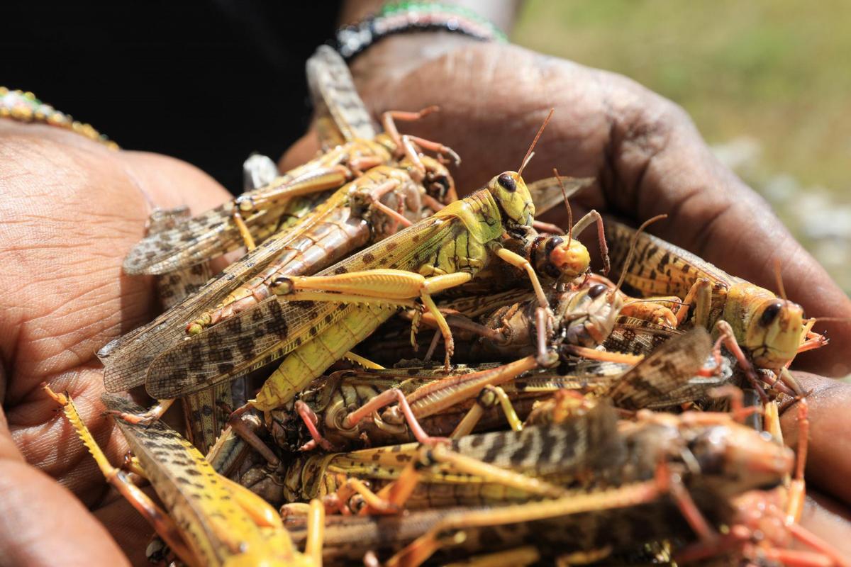 Новая волна саранчи угрожает миллионам людей в Африке