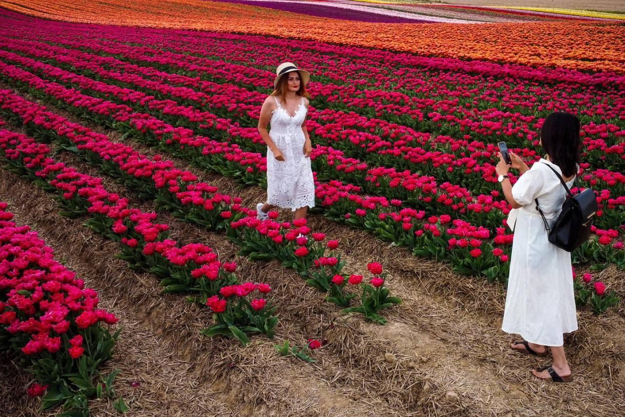 Цветущие поля тюльпанов в Германии
