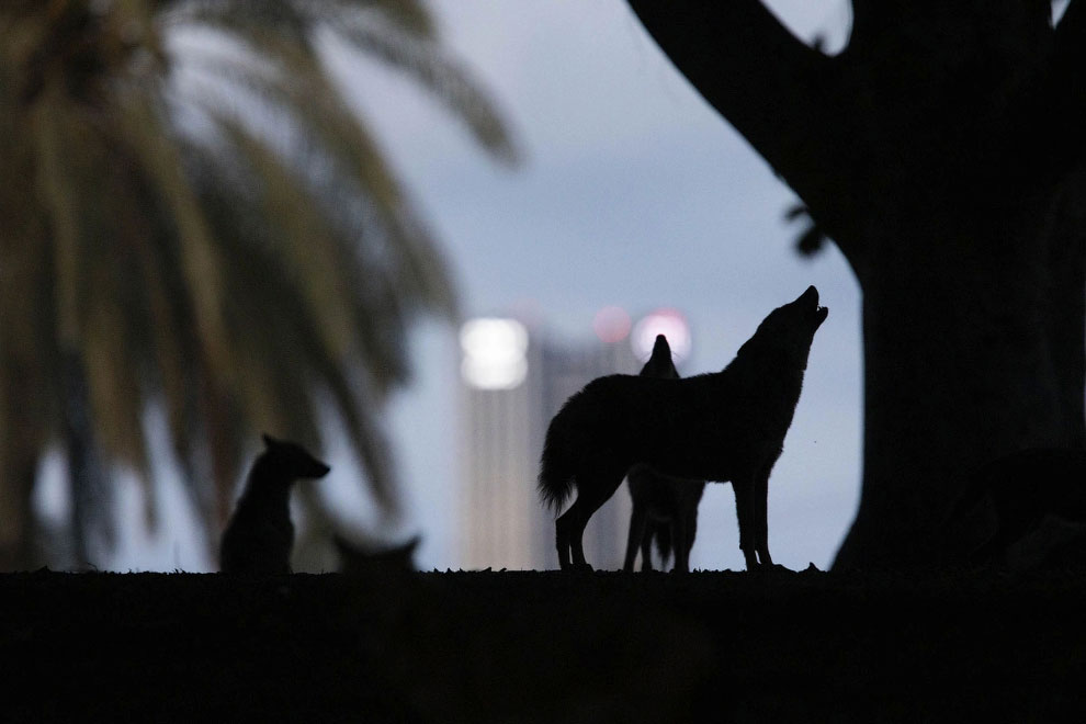 Шакалы заполонили городской парк Тель-Авива