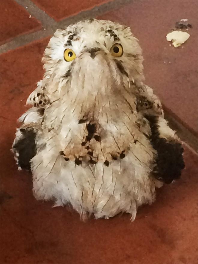 Исполинские козодои - птицы, которые очень забавно выглядят