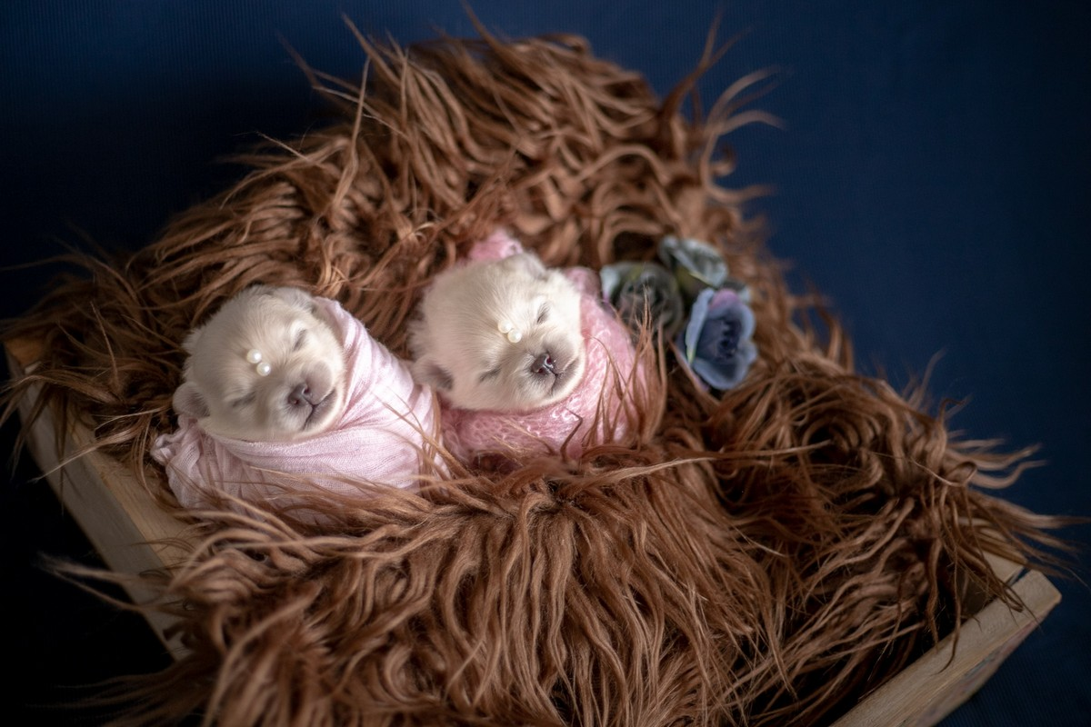Новорожденные щенята померанского шпица в одеялках