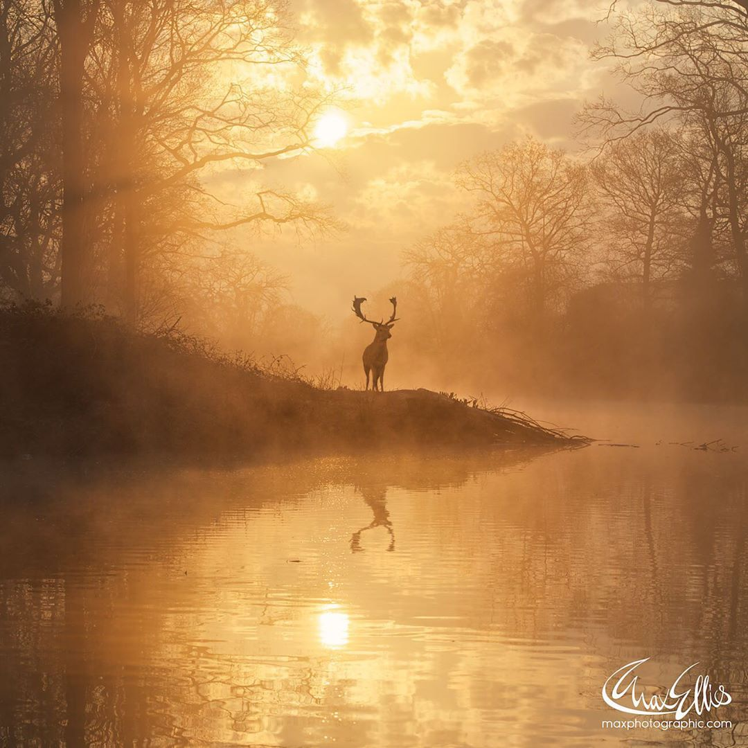 Красота оленей на снимках Макса Эллиса