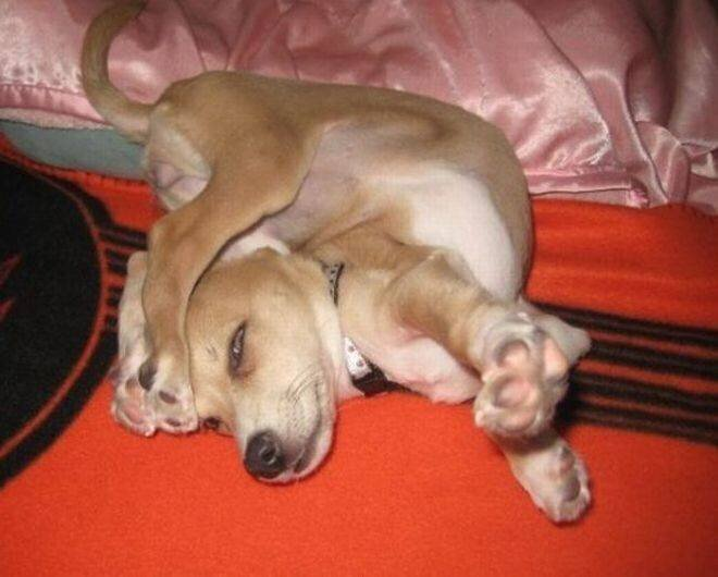 Милые пёсики, которые спят в самых странных позах