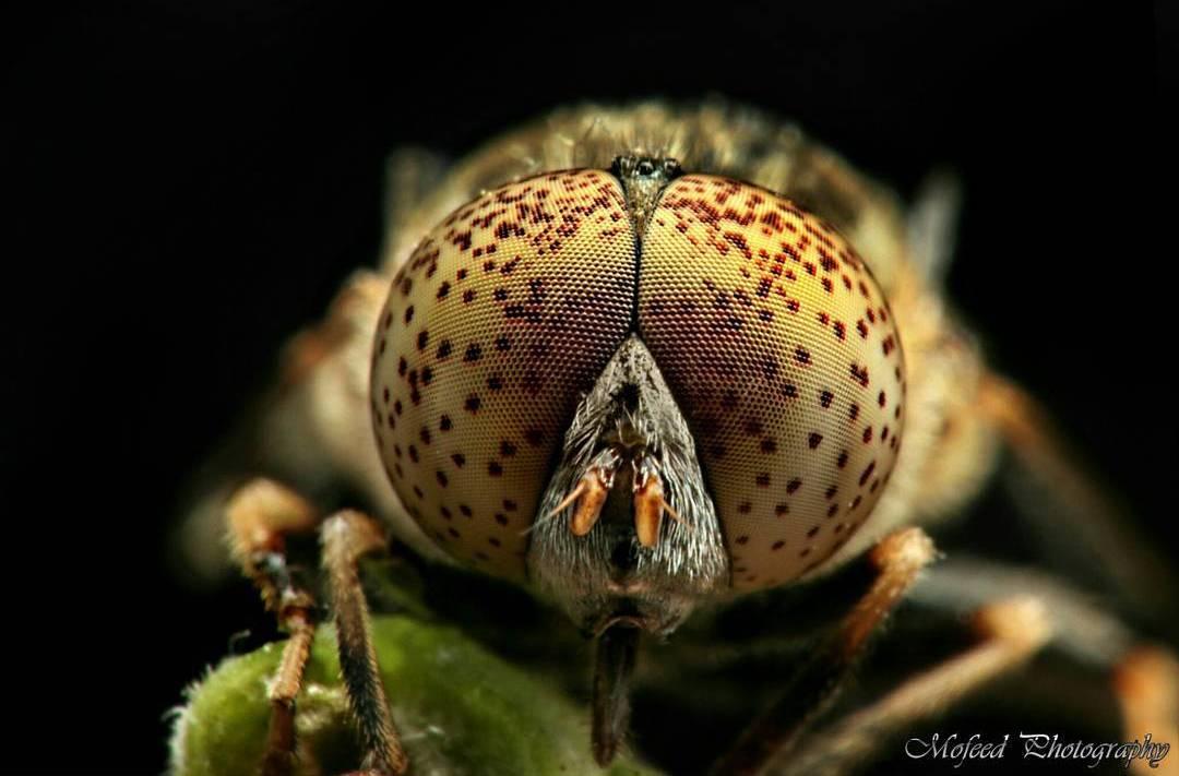 Впечатляющие макроснимки насекомых от Мофида Абу Шалвы