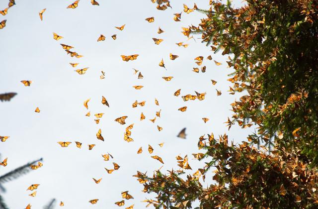 Как бабочкам удается мигрировать на большие расстояния?