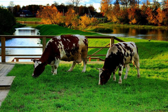 Почему мясо коровы называется говядиной
