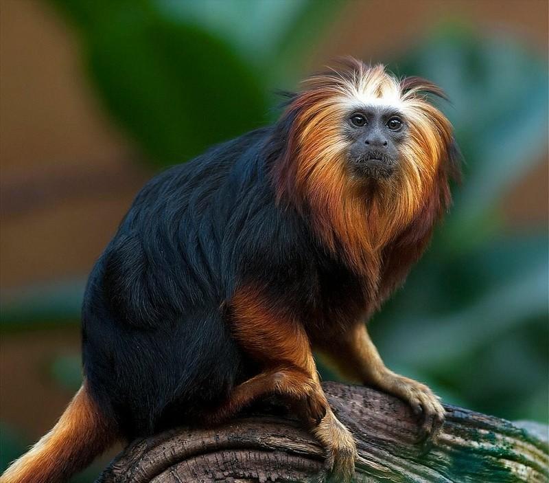 Самые маленькие среди обезьянок в мире