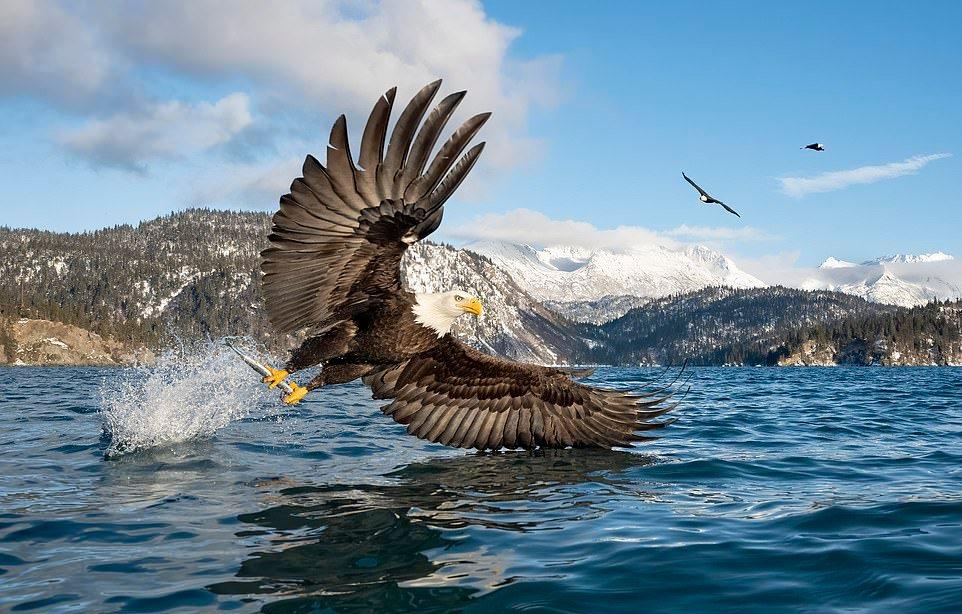 Белоголовый орлан на рыбалке