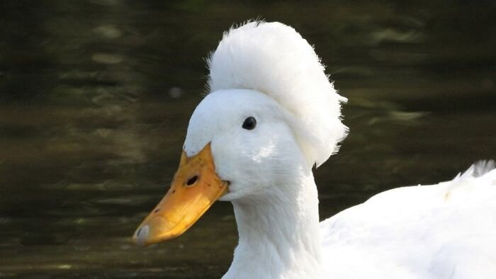 Хохлатые утки, которые выглядят как аристократы XVIII века в париках