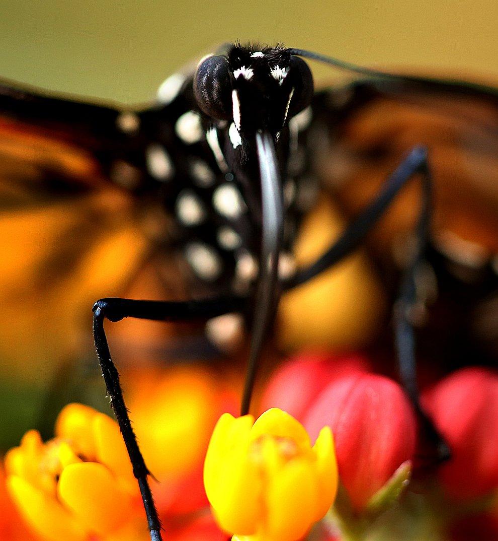 Рождение бабочки монарха в объективе