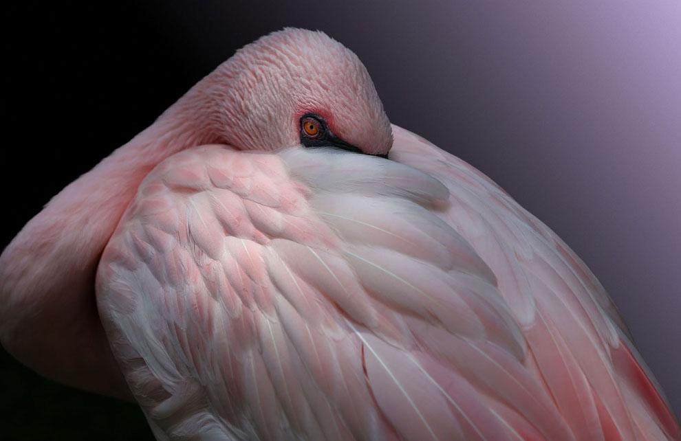 Красота и жизнь фламинго на снимках
