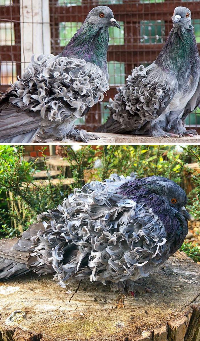Виды голубей, о которых вы, скорее всего, не знали