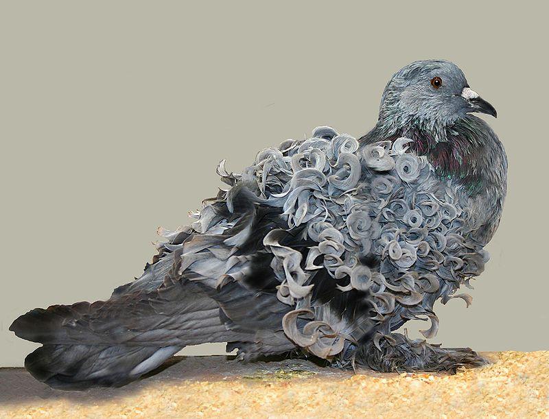 Голуби породы Frillback с вьющимися от природы перьями