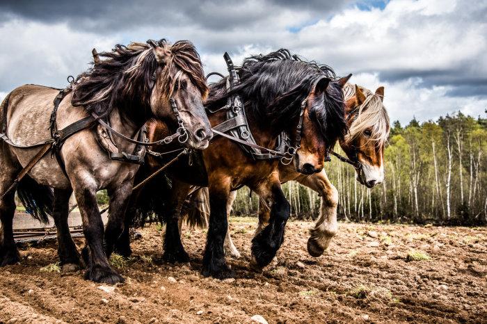 Сколько лошадиных сил может быть у одной лошади
