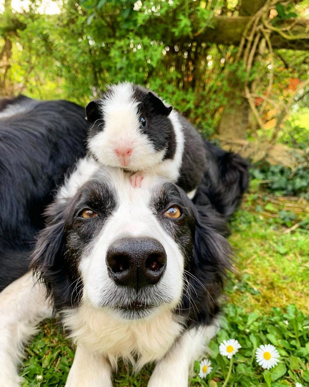 Морская свинка дружит с двумя с пёсиками