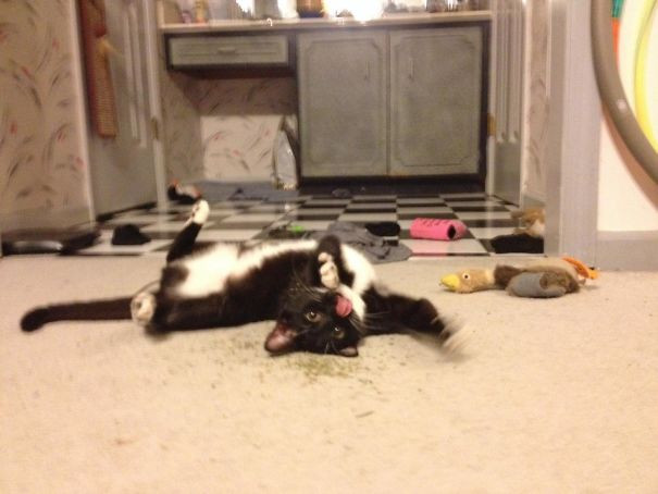 Котики добрались до кошачьей мяты и перестали функционировать
