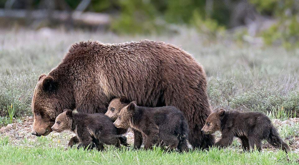 Медведица, которая за свою жизнь родила 17 медвежат