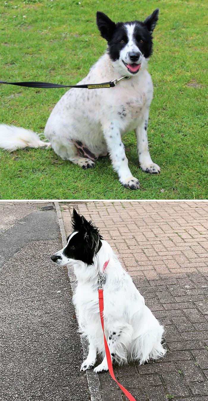 Располневшие собаки на снимках до и после того, как они похудели