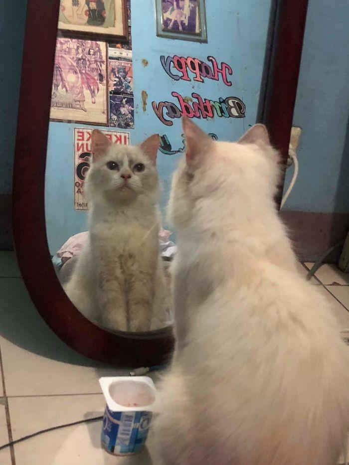 Домашние животные продолжают смотреться в зеркало