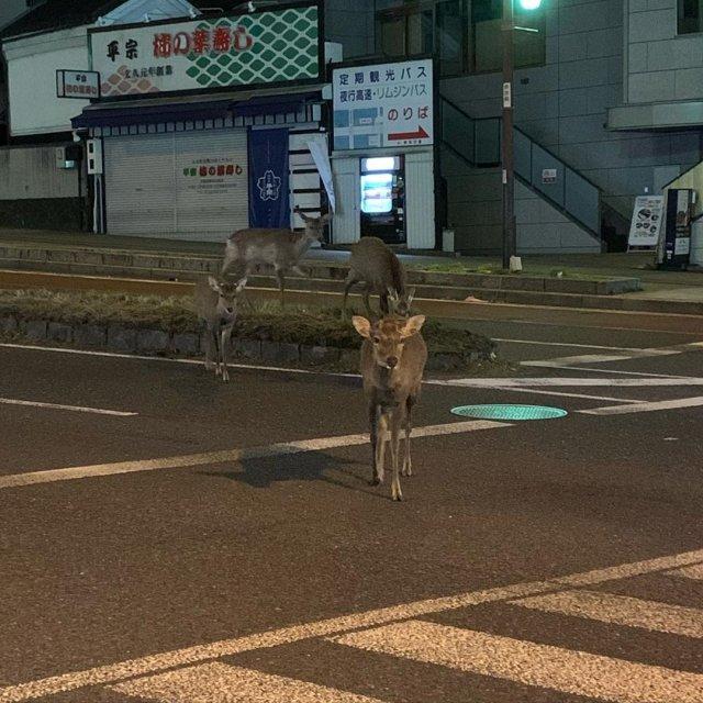 В японском городе Нара олени продолжают гулять по улицам