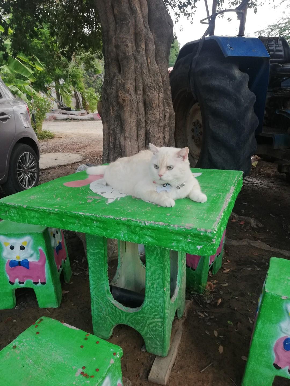 Сердитый кот, который охраняет арбузную ферму в Таиланде