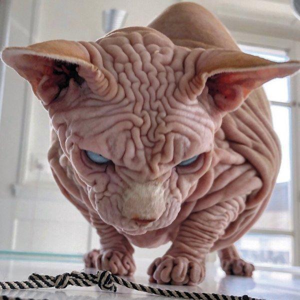 Сфинксы - не самые фотогеничные коты в мире