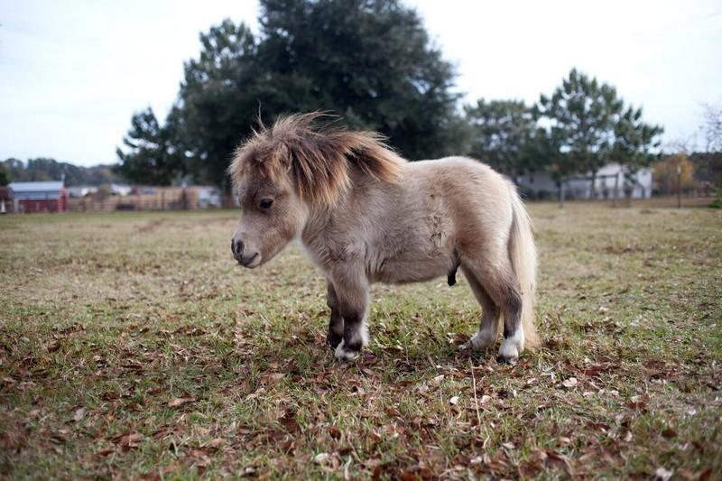 Самые маленькие лошадки в мире