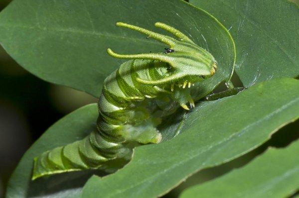 Удивительные гусеницы не менее красивые, чем бабочки