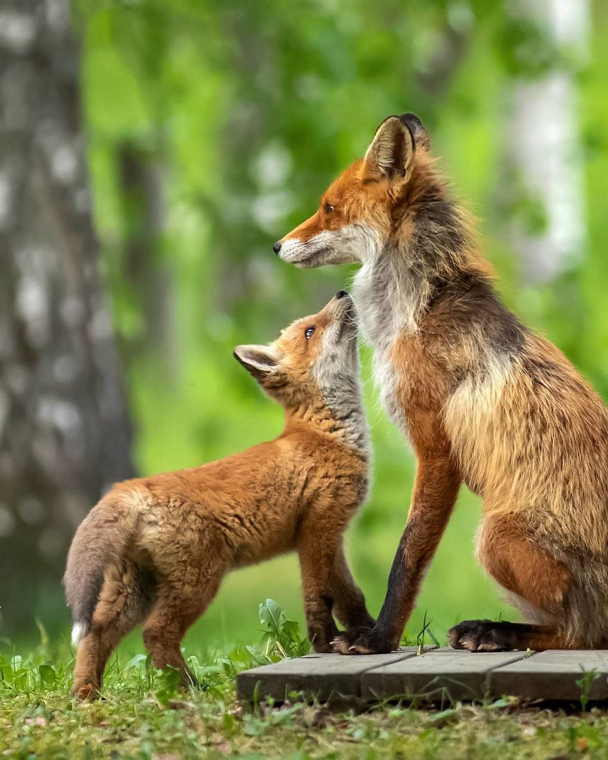 Милые детёныши животных на снимках Осси Сааринен