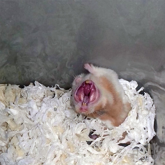 Зевающие хомячки выглядят немного пугающе