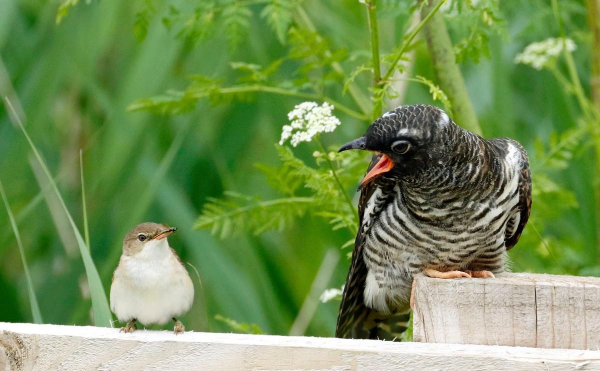 Маленькая садовая камышовка кормит крупного кукушонка (ФОТО)