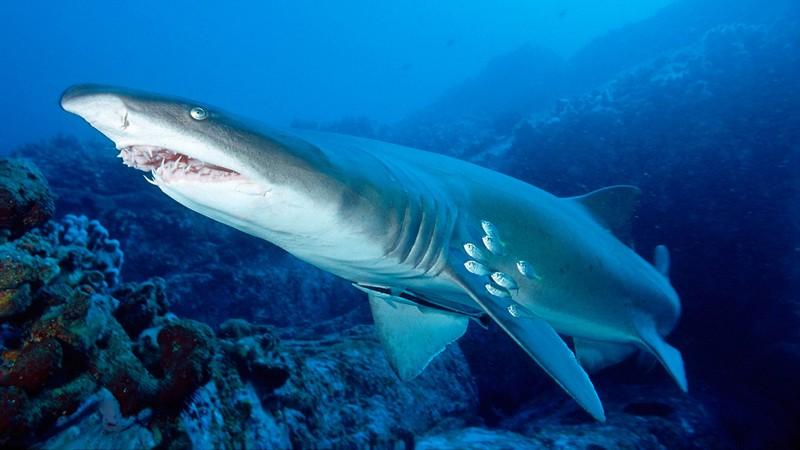 Самые страшные и опасные среди акул