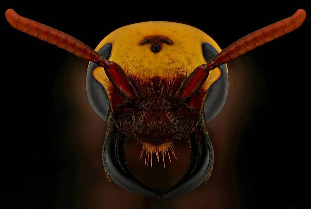 Удивительные макроснимки насекомых от Мофида Абу Шалва