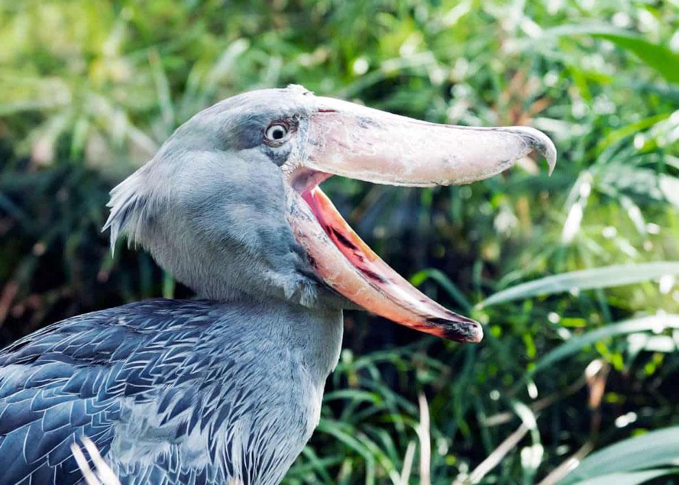 Крупная птица китоглав в объективе