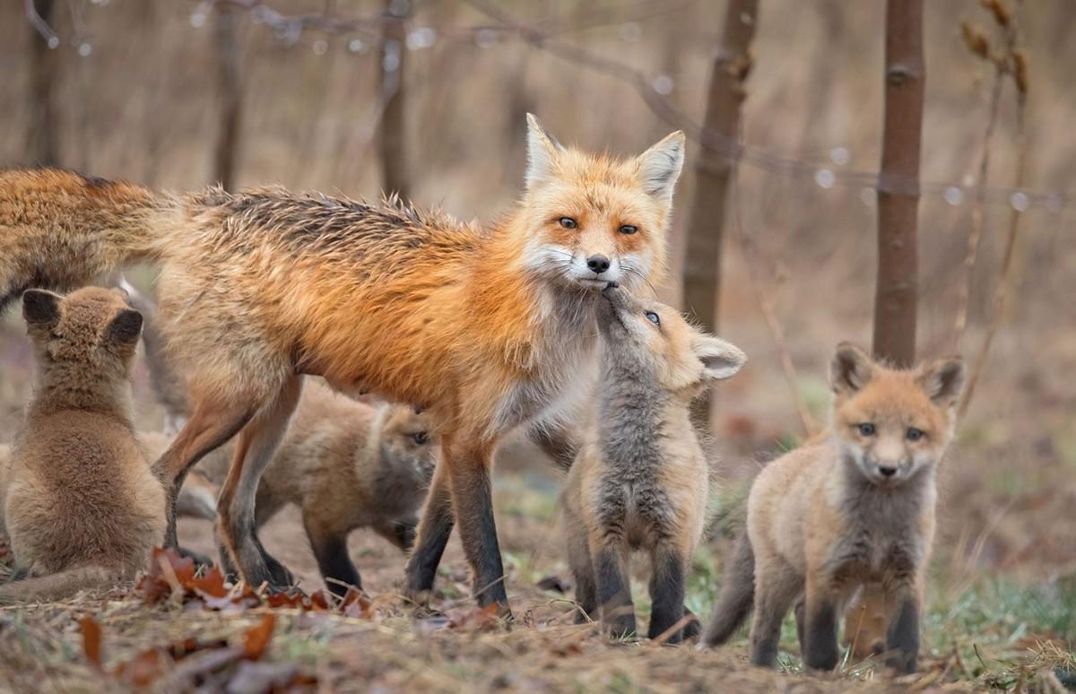 Милые и симпатичные лисы на снимках Бриттани Кроссман (ФОТО)