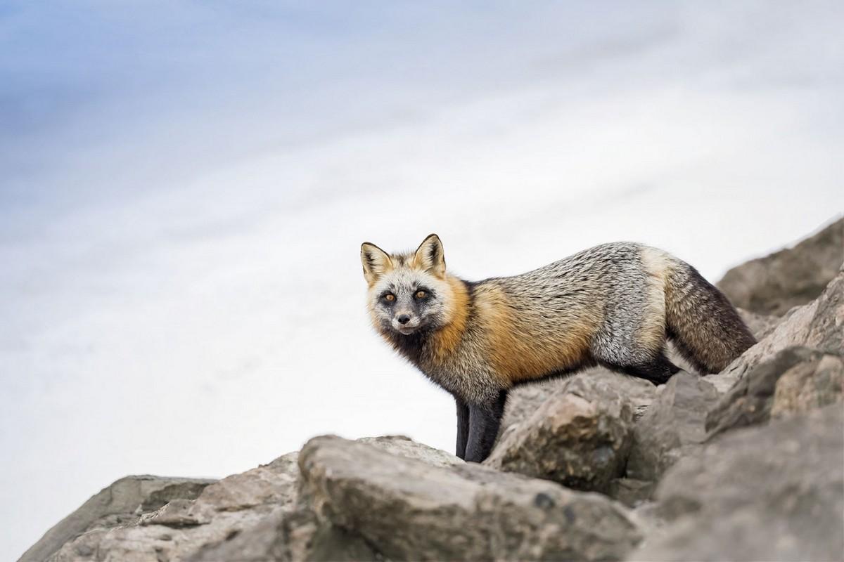 Милые и симпатичные лисы на снимках Бриттани Кроссман