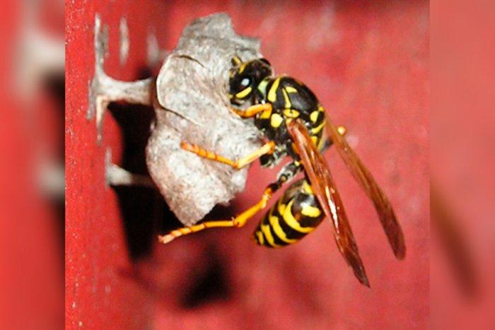 Из чего осы строят свое гнездо