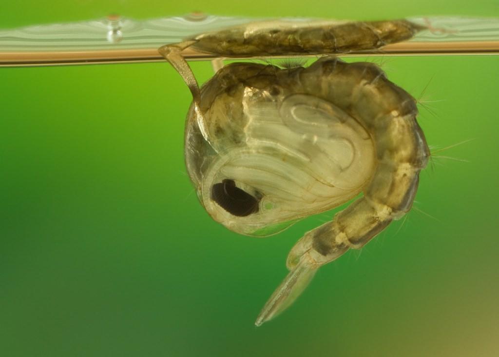 Пять этапов жизни комара: от яйца до зимней спячки