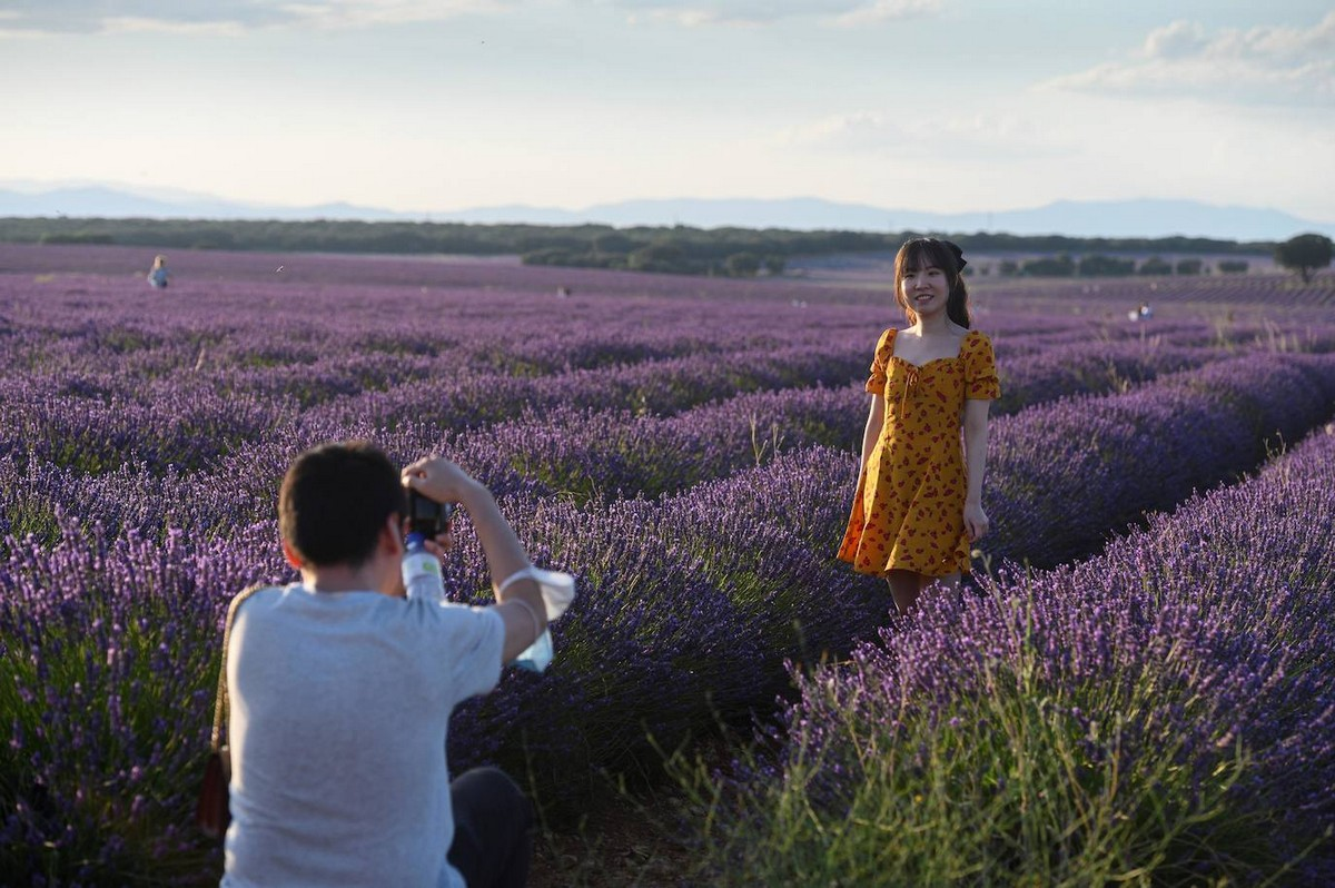 Цветущие лавандовые поля в Испании