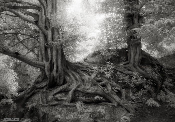 Самые старые и величественные деревья в мире на снимках