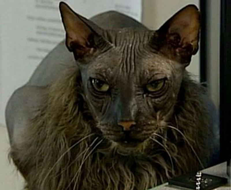 Известные коты с крайне необычной внешностью