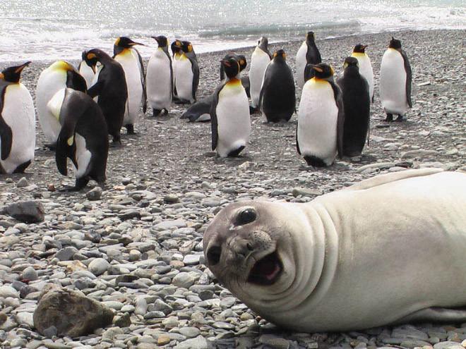 Смеющиеся тюлени, которые услышали самую смешную шутку