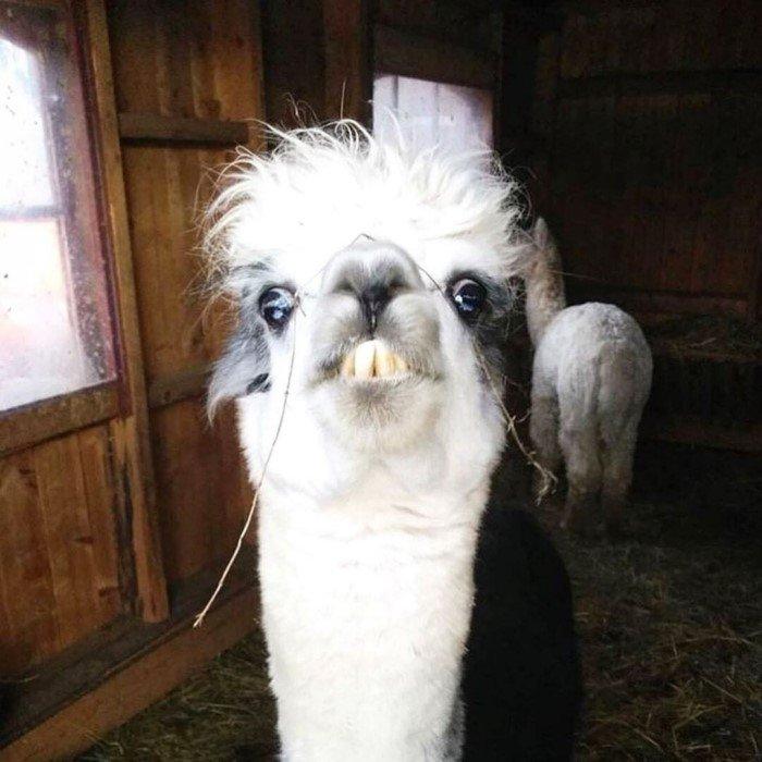 Снимки милых альпак, которые поднимут вам настроение