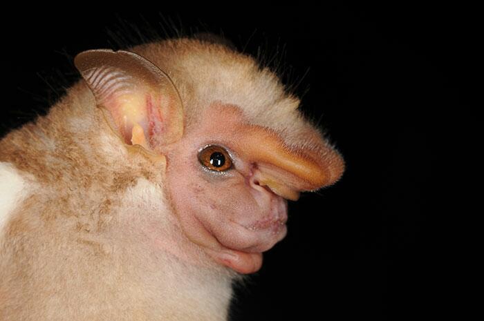 Самые причудливые виды летучих мышей