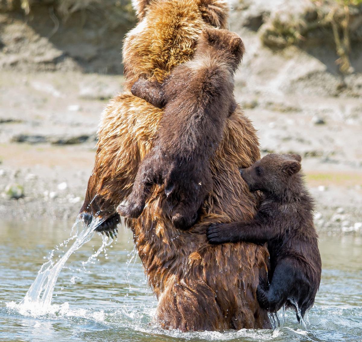 Медведица учит медвежат не бояться воды