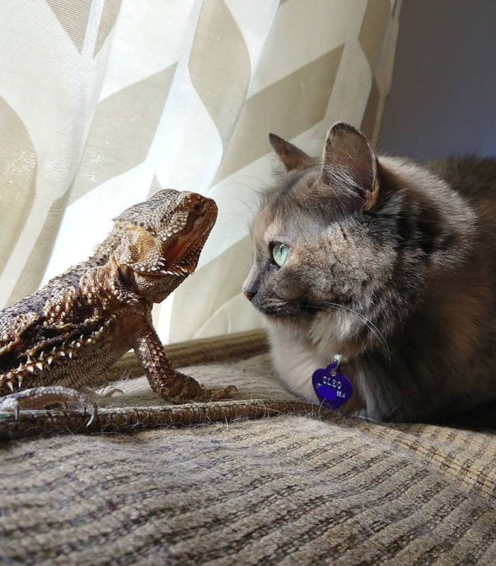 Котики и ящерицы, которые смогли стать друзьями