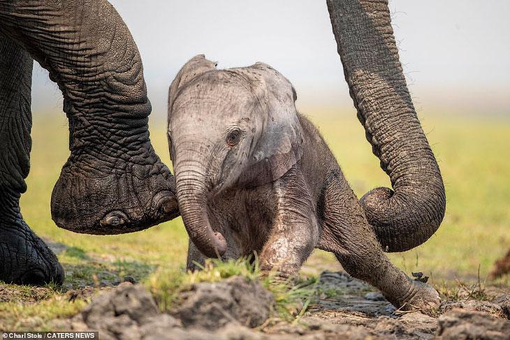 Первая прогулка слоненка в фотографиях